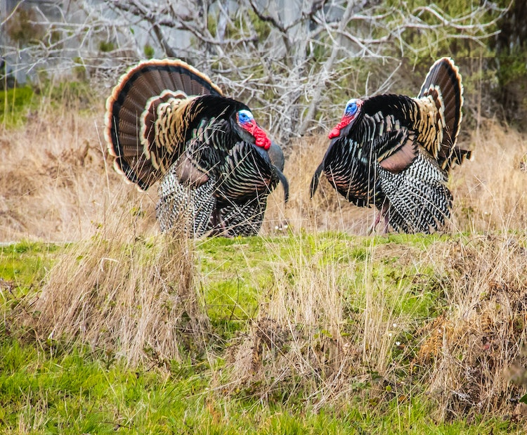 how to find a turkey for hunting