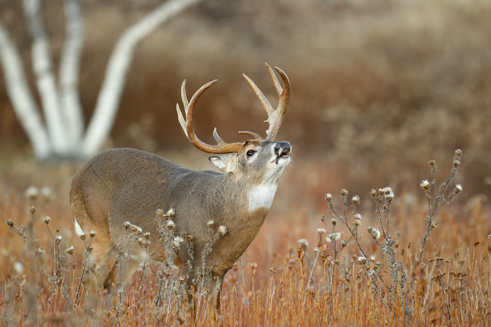 Bedding Areas - 5 best places to hang a deer stand.